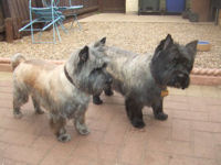 groomed Cairn Terriers in garden