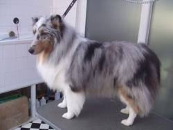 Collie after grooming - Medium