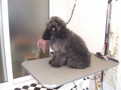 black poodle before grooming - Medium