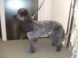 black poodle after grooming - Medium