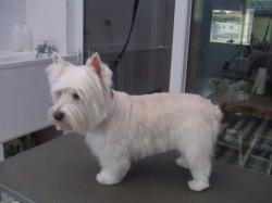 White Yorkshire terrier after grooming - Medium