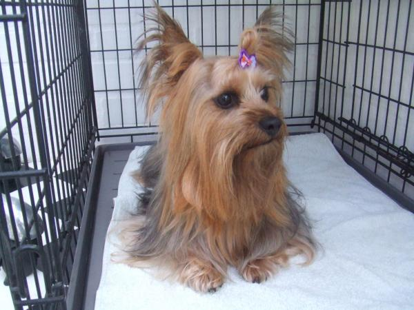 Yorkshire terrier after grooming - Large