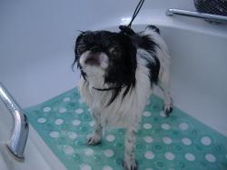 Japanese Chin before grooming - Medium