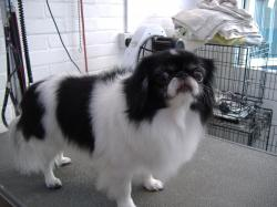 Japanese Chin after grooming - Medium