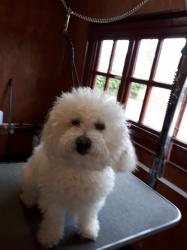 Bichon Frise before - Medium
