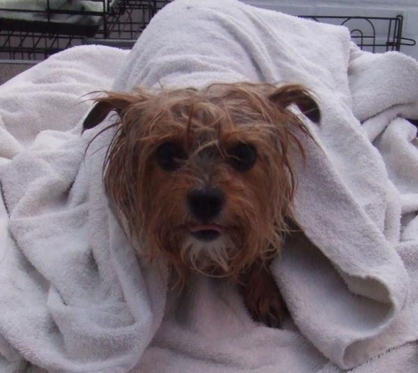 Mildenhall Dog Grooming- Yorkie in towel