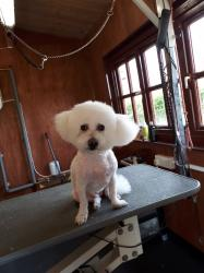 Bichon Frise after - Medium