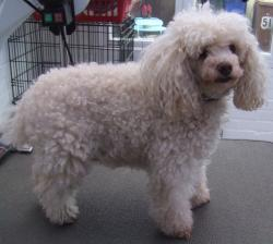 poodle1 before grooming - Medium