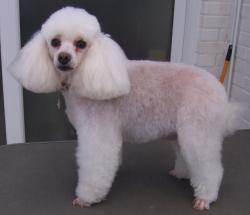 poodle1 after grooming - Medium
