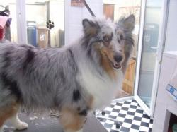 Collie before grooming - Medium